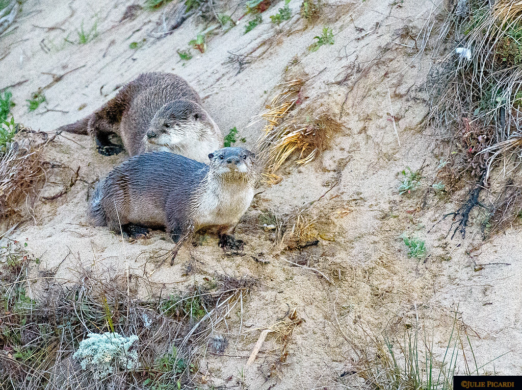 Curious otter pup hanging out with mom at Pt. Reyes Abbotts Lagoon.