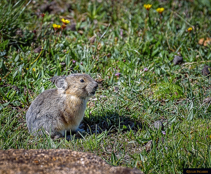 Pika in the green grass at the top of Trail Ridge Road in Rocky Mountain National Park.