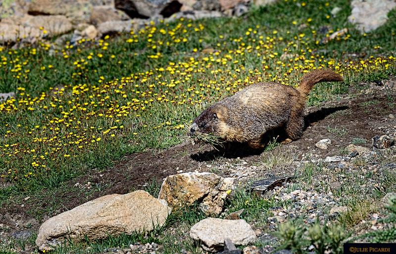 This marmot is bringing food back to his burrow.