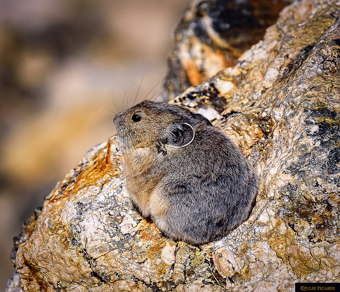 Their rounded ears and lack of a tail are distinguishing characteristics of the Pika. They are closely related to the rabbit family.
