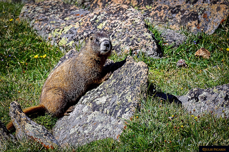 A Yellow-bellied Marmot also on Trail Ridge Road. They often share the same habitat with the Pika.