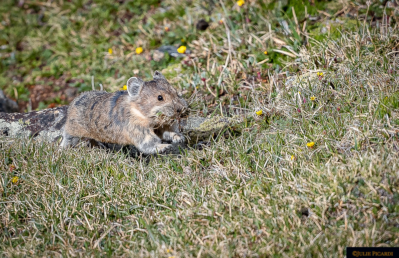 Pika Running Through the Grass
