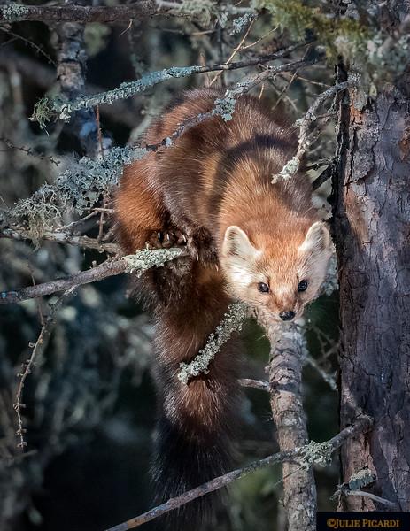 Pine Marten creeping through the tree branches