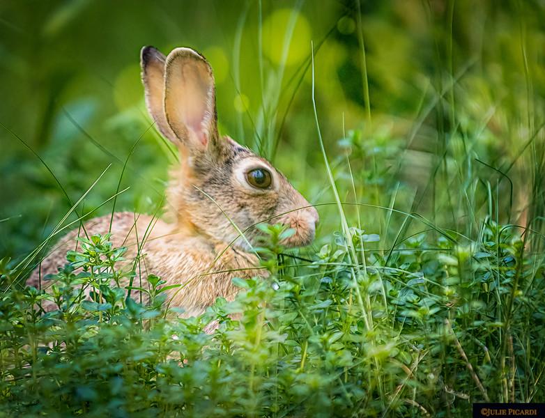 Wild Rabbit in My Garden