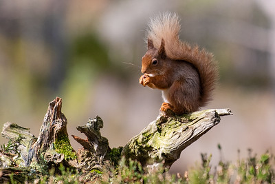 Red Squirrel-69