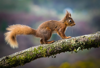 Red squirrel-1001