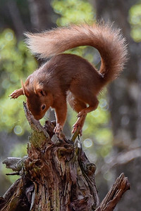 Red Squirrel-2301