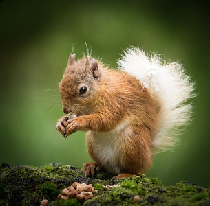 Red squirrel-1005