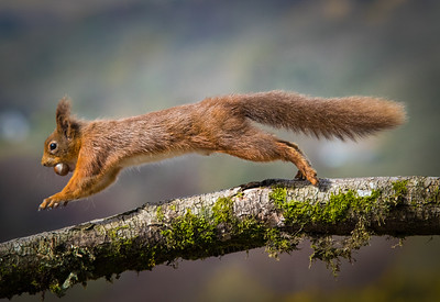 Red squirrel-1002