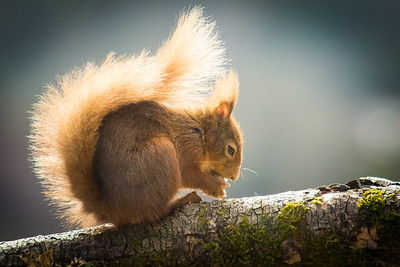Red squirrel-1004
