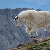 Fear of heights? Not if you're a mountain goat!