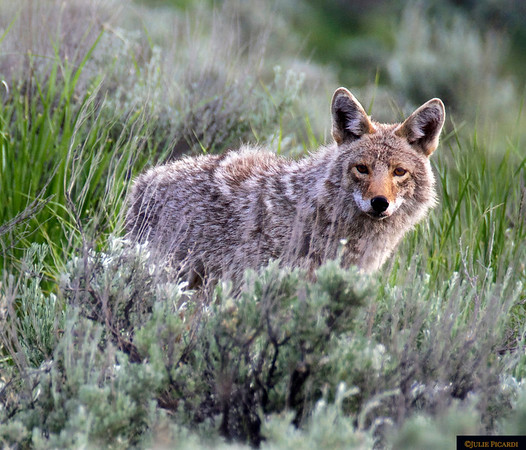 Coyote Looking for Dinner in Yellowstone