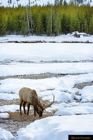 Bull elk drinking from the Madison River in Yellowstone National Park