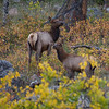 Elk cow and baby in Rocky Mountain National Park