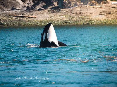 Spy hopping Orca near the coast line.