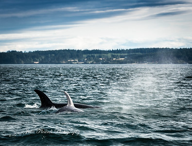 Transients differ from residents with subtle changes in their markings and coloration. Here is a distinct color difference in a younger transient Orca whale.