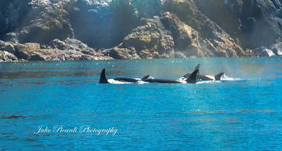 Resident Orca pod