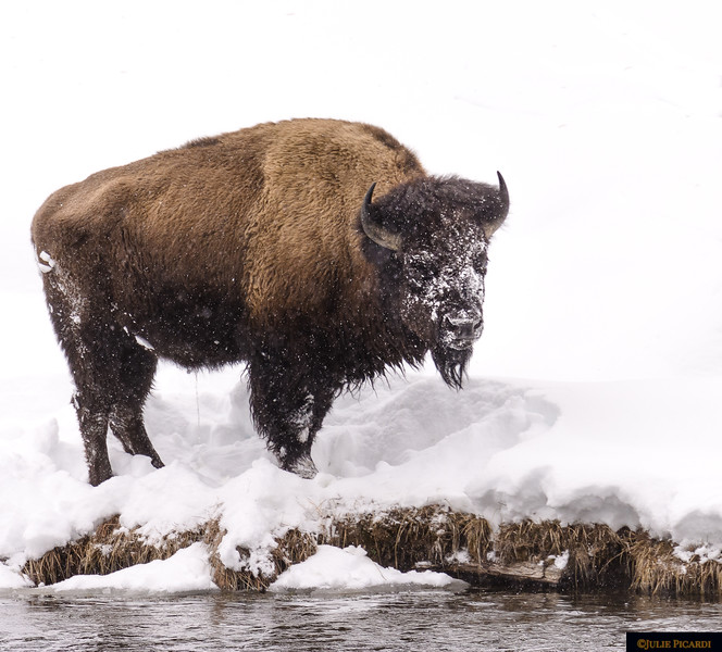 Portrait of a bison.