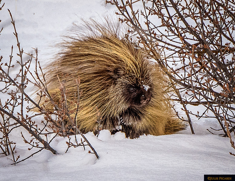 Porcupine in Grand Teton National Park
