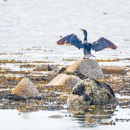 Backlit #cormorant at #Kilpatrick last week.