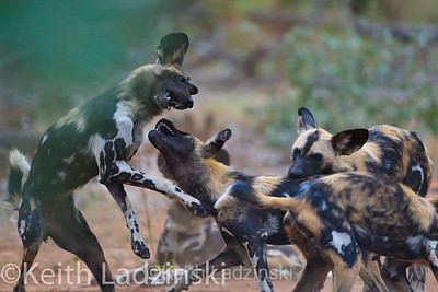 Wild dogs, playfully wrestling in Zimbabwe's savanah. This behavior strengthens the bond in the pack and is a great way to stretch out before the hunt