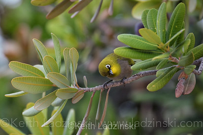 A Cape White-eye perched in a tree in the Hex Valley South Africa