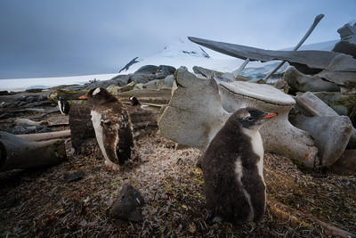 Whale bones and penguins