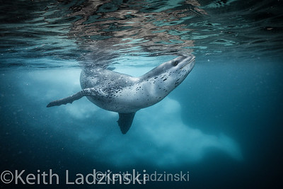 Leopard seal swimming underwater next to iceberg.