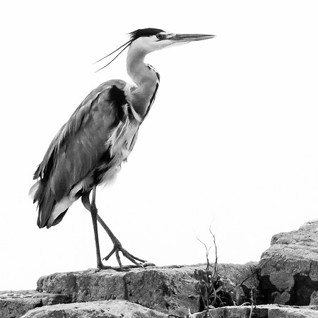 #heron #kildonan #sealshore #monochrome #blackandwhite #poser