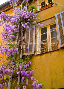 Roving Wisteria in Grimaud, France