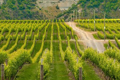 Vineyard cascading Toward River, Hawkes Bay, New Zealand