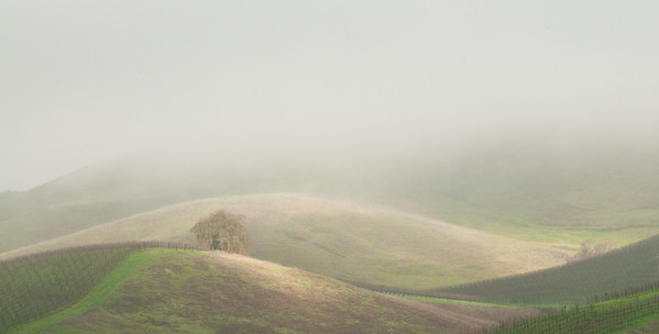 Carneros Hills in Early Morning Fog, Napa, CA