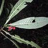 SAJ0159 Bubbia haplopus