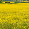 Rapfelds<br /> Golden yellow rape seed fields cover Germany in the Spring