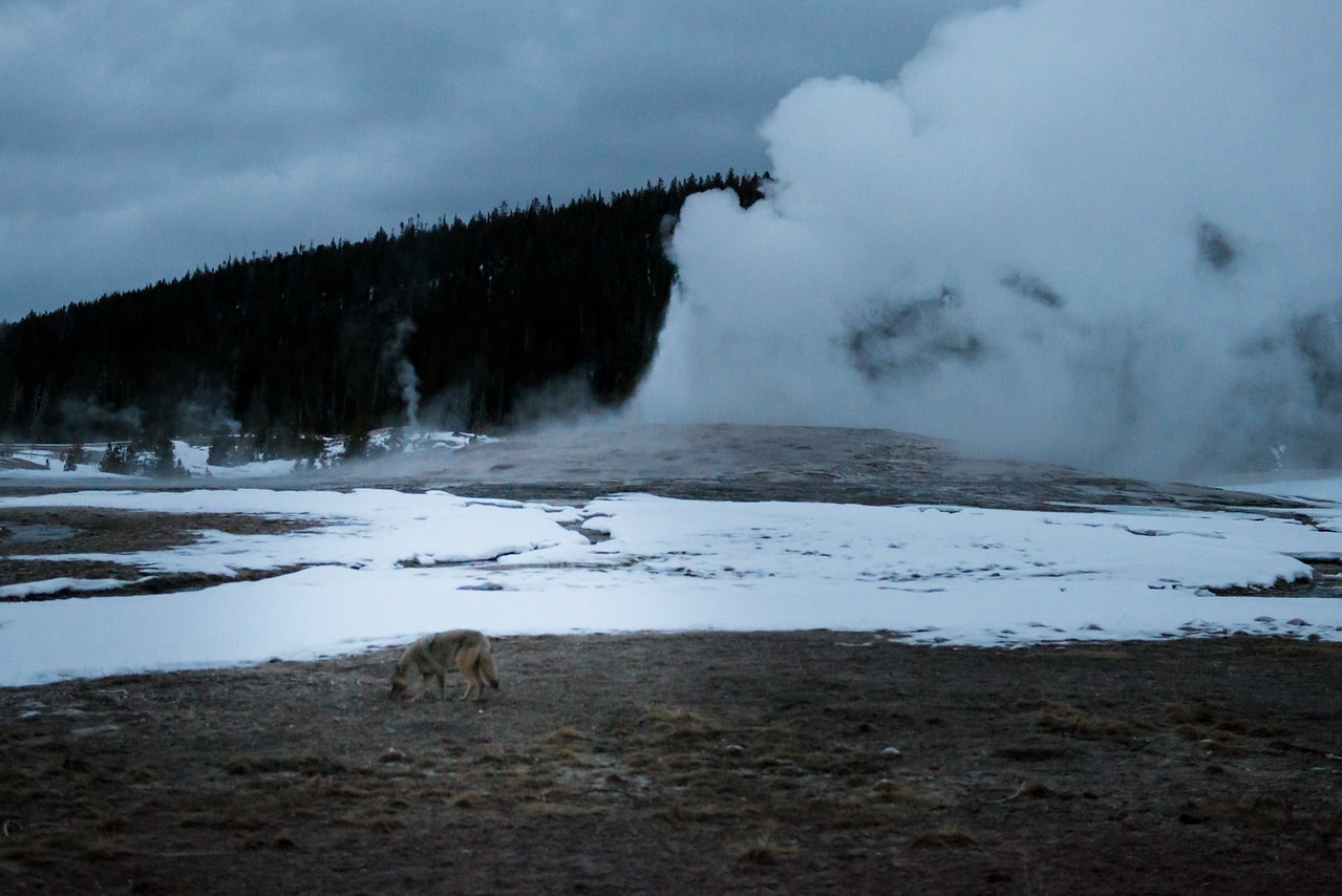 Coyote and Old Faithful