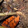 SAJ0952 Alpinia calycodes