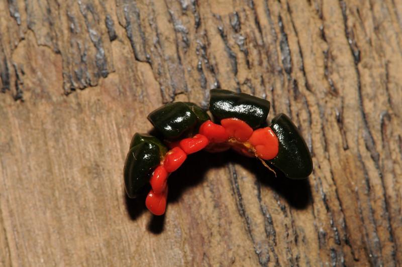 SAJ1803 Pleuranthodium