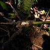 SAJ0956 Riedelia longifolia