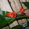 SAJ1081 Riedelia maculata