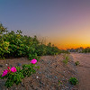 Flowering Plant In The Sunset