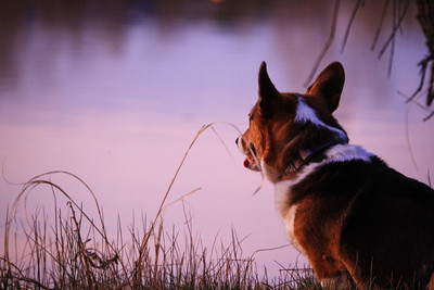 Sunset Corgi