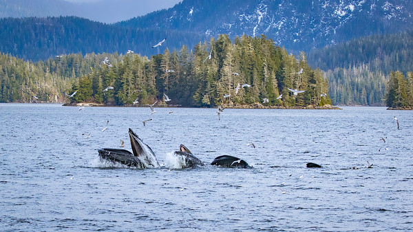 Humpback whales catching herring