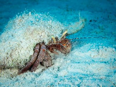 Hermit Crab, Bahamas