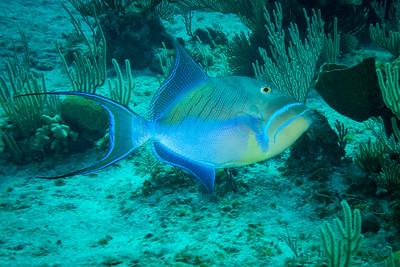 Queen Trigger Fish, Bahamas