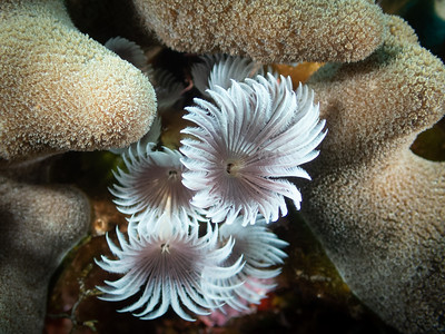 Feather Duster Worms