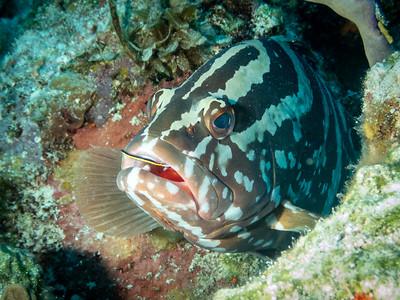 Nassau Grouper, Bahamas
