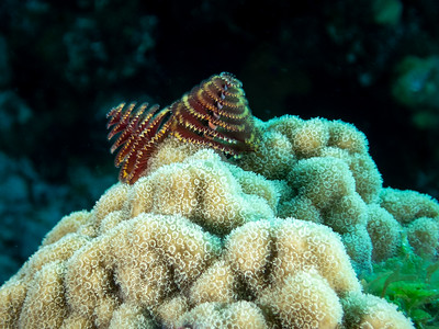 Christmas Tree Worms on Porites Astreoides Coral, Bahamas