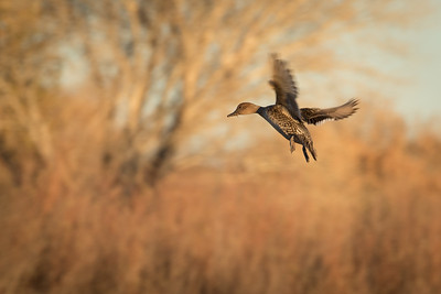 Northern Pintail Duck, Female, Bosque Del Apache NWR, NM