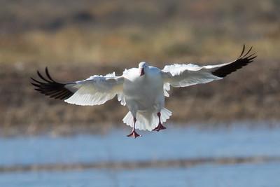 Snow Goose, Bosque Del Apache NWR, NM