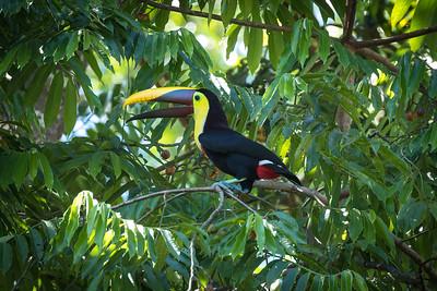 Yellow-throated Toucan, Puerto Jimenez, Costa Rica
